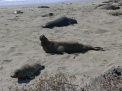 Point Piedras Blancas - Elephant Seal Colony